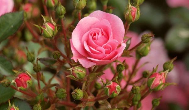 Выращивание роз на земле