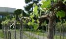 Выращивание винограда в форме занавеса