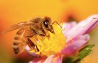 Биоразнообразие пчёл повышает урожайность