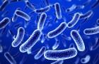 Доброкачественная бактерия против сальмонелл на томатах