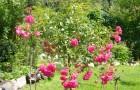 Формирование штамбовых кустарников