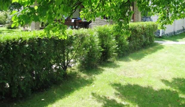 Формирование живых изгородей в раннем возрасте