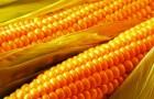 Как вырастить карликовую кукурузу