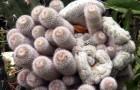 Клейстокактус штрауси