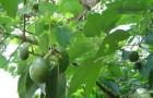 Обрезка авокадо