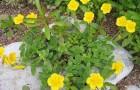 Обрезка гелиантемума, солнцецвета