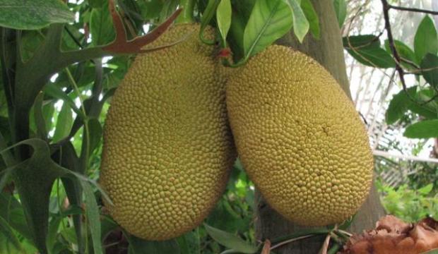 Обрезка хлебного дерева, джекфрута