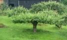 Обрезка и формирование декоративных деревьев