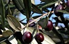 Обрезка маслины