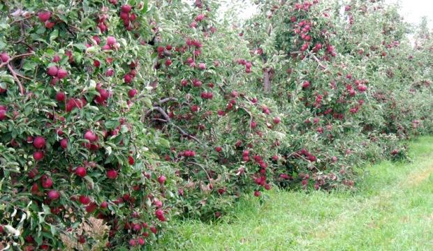 Обрезка морозостойких плодовых деревьев