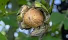 Обрезка ореха грецкого