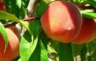 Обрезка персика и нектарина