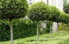 Обрезка штамбовых деревьев