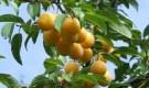 Обрезка сливы, вишни, черешни и др.