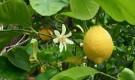 Обрезка цитрусовых плодовых культур