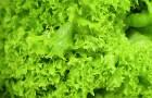 Самая летняя и простая листовая зелень