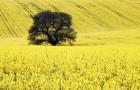 Солома масличных культур – новый источник биотоплива