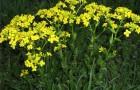 Растения защищаются от вредителей горчичным напалмом
