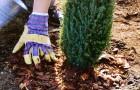 10 октября 2014 года: удобряем кустарники