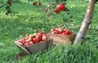 14 сентября 2014 года: собираем плоды