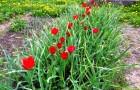 30 сентября 2014 года: сажаем тюльпаны и чеснок