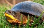 Американская болотная черепаха