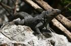 Игуана черная