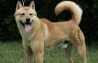 Корейская собака хиндо
