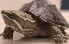 Обыкновенная мускусная черепаха