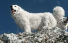 Польская подгалянская овчарка