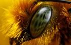Поляризационные узоры цветов помогают пчелам искать пищу