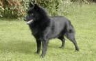 Шкиперская собака