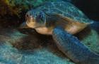 Зеленая черепаха (Суповая черепаха)