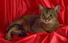 Абиссинская короткошерстная кошка (ABY)