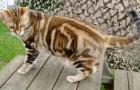 Американская короткошерстная кошка (ASH)