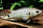 Анабас. Рыба-ползун