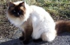 Балинезийская кошка (Балинез) (BAL)