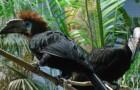 Черная или пальмовая цератогимна