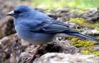 Голубой зяблик