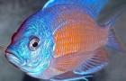 Хаплохромис Борлея. Хаплохромис пестрый. Циртокара Борлея