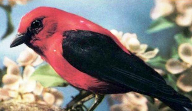 Красно-черная или алая танагра