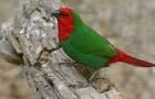 Красноголовая попугайная амадина