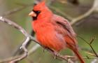 Красный, или виргинский, кардинал