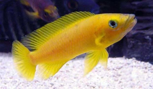 Лампрлогус апельсиновый. Лампрологус цитроновый