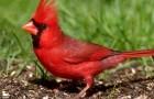 Мантийный, или красноголовый кардинал