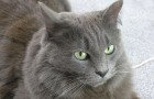 Нибелунг (Русская длинношерстная кошка) (NEB)