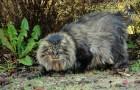 Норвежская лесная кошка (Cкоггкэт) (NFO)