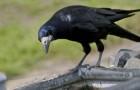 Новокаледонская ворона
