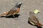 Обыкновенная горихвостка, или горихвостка-лысушка