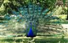 Обыкновенный, синий или индийский павлин